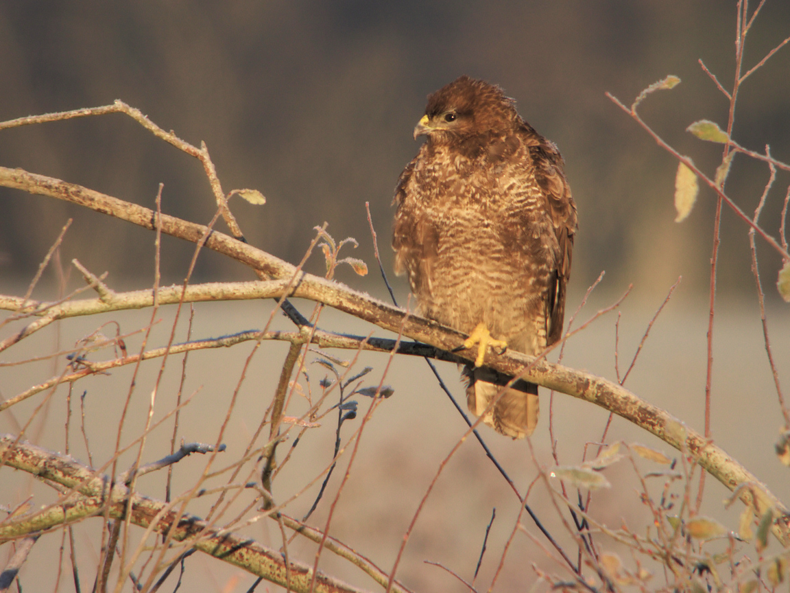 BUSE VARIABLE ROUSSE  2