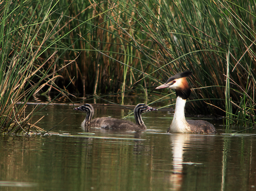 grebe huppe marcilly2