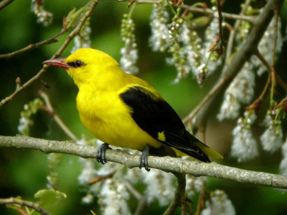 Miraculeux en passant par chez moi en p rigord ou for Oiseau jaune et noir
